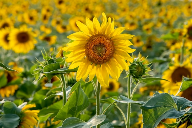 Beautiful bright sunflower close up perfect desktop wallpaper for design and interior decoration