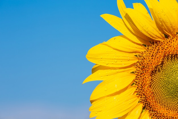 Beautiful bright yellow sunflower on the sky