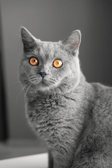 Beautiful british gray cat, close-up portrait, gray, large yellow eyes