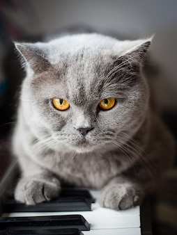 Красивый британский серый кот сидит на клавишах пианино, портрет крупным планом, большие желтые глаза