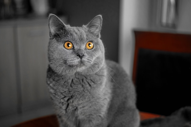 Beautiful british gray cat