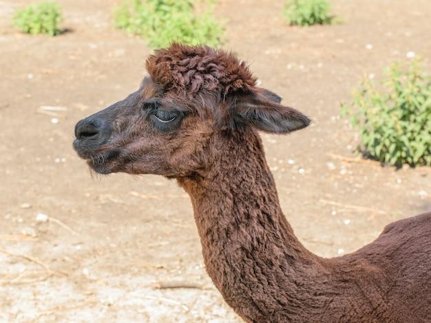 田園地帯の背景にある美しい茶色のアルパカ。