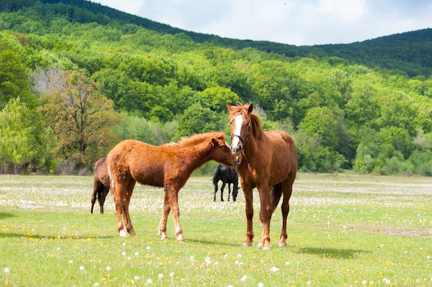 Beautiful brown and black horses eating grass and grazing in a meadow and green field.