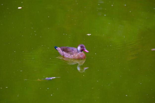 공원에서 연못에 아름 다운 갈색 부시 오리