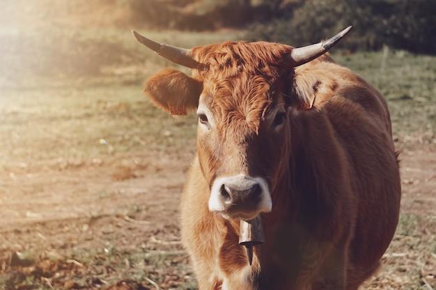 Красивая коричневая корова на лугу