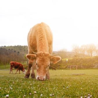 초원 농촌 현장에서 아름 다운 갈색 암소 초상화