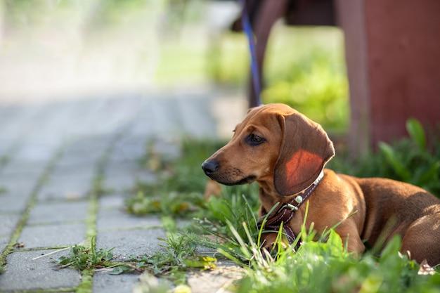 Красивая коричневая собака таксы в парке. собака отдыхает. прогулка с собакой в городском парке.