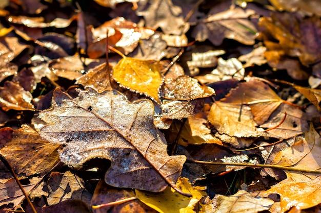 프 로스트와 함께 아름 다운 갈색 말린 된 오크 잎