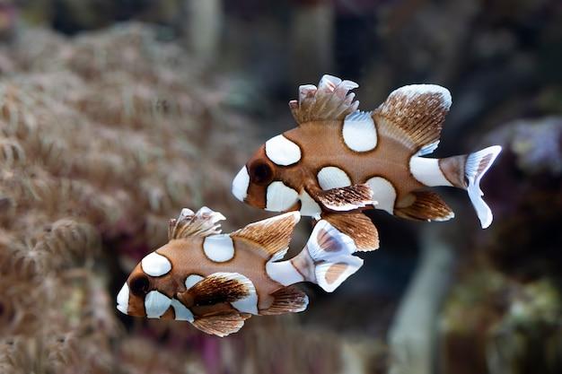 海底と珊瑚礁の美しい茶色の魚茶色の魚と珊瑚礁の水中の美しさ