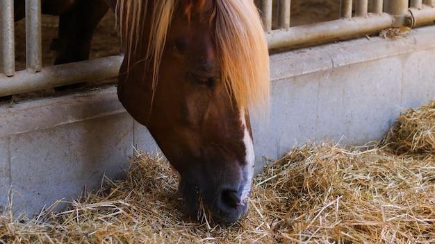 美しい茶色の馬は、繁殖用厩舎で干し草を食べます。