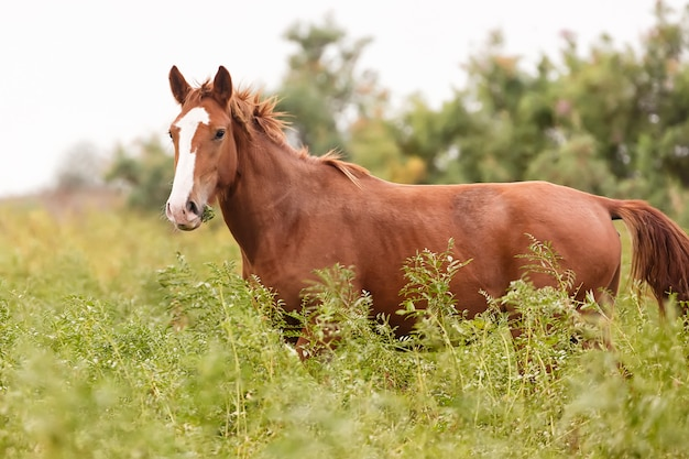 Beautiful brown horse in the green meadow