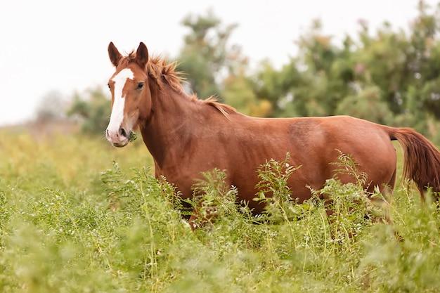 Красивая коричневая лошадь на зеленом лугу