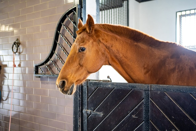 Beautiful brown horse in a stall in the stable. equestrian club and riding classes.