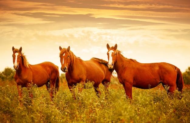 Красивые коричневые лошади на зеленом лугу во время красивого закатного неба