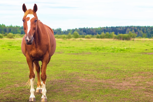 Beautiful brown muscular horse standing