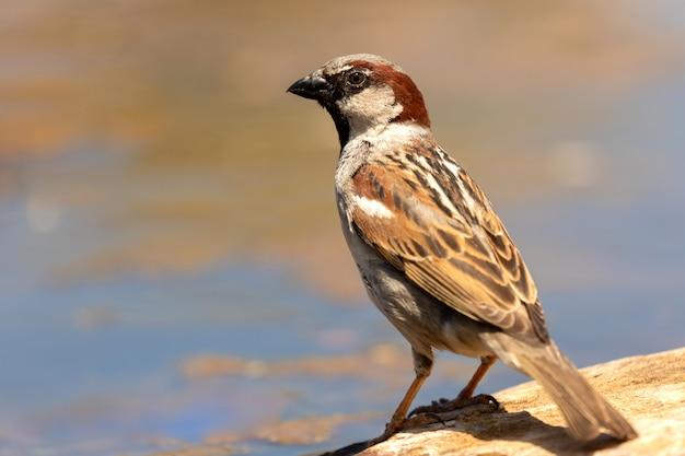 Beautiful brown sparrow taking a bath