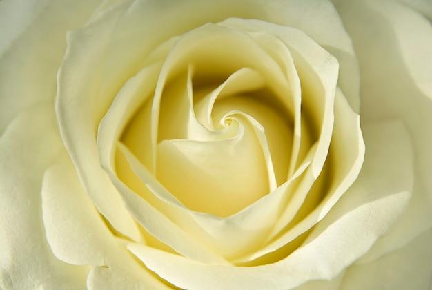 淡い黄色のバラの美しいつぼみ Premium写真