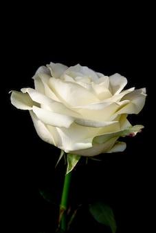 黒い背景に白いバラの美しいつぼみ 花と植物