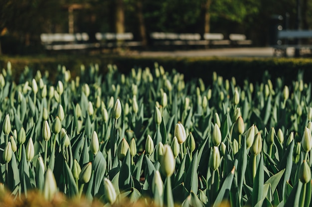 Beautiful buds of tulips in the park