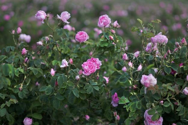 ブルガリアのバラの谷の美しいブルガリアのダマスクローズ