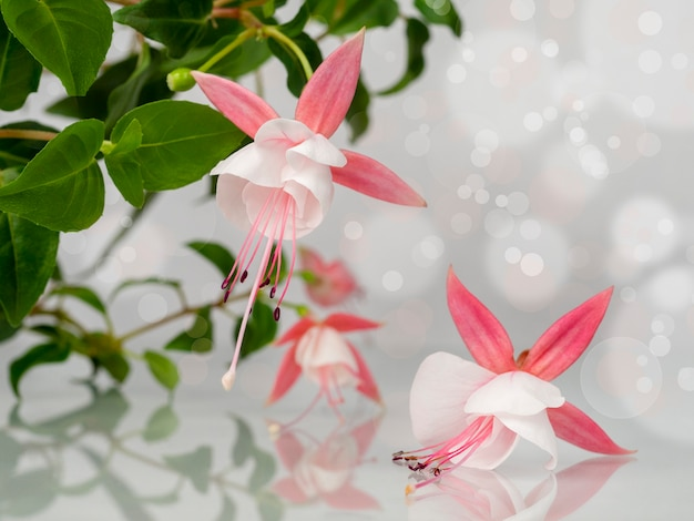 Beautiful bunch of a blooming pink and white fuchsia flowers over natural gray background with bokeh. flower background with copy space. soft focus.