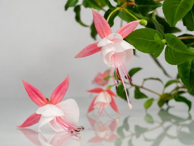 自然な灰色の背景の上に咲くピンクと白のフクシアの花の美しい束。コピースペースと花の背景。ソフトフォーカス。