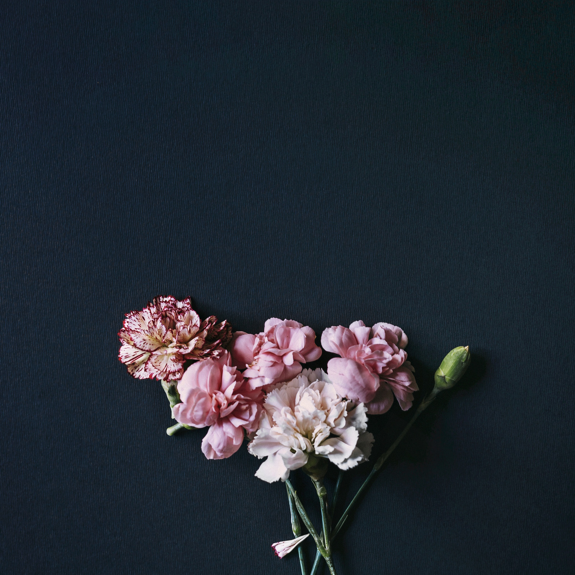 Beautiful bunch of colorful carnation flowers with bud over black backdrop