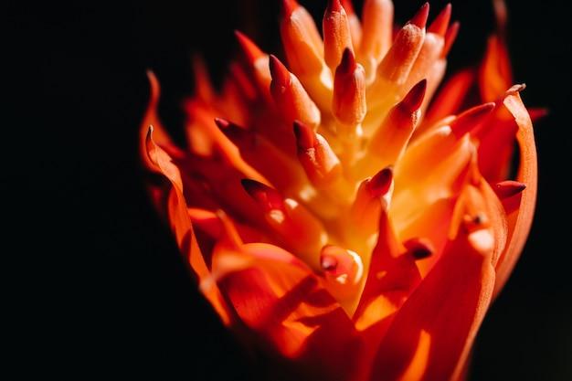 テネリフェ島の美しいバーガンディの花。