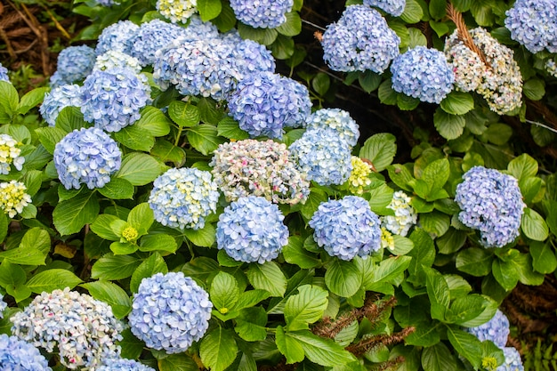 Beautiful bush of colorful hortensia flowers.