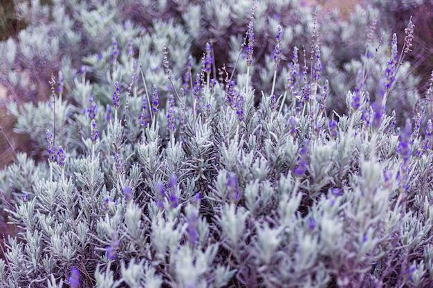 Красивый куст пурпурной летней лаванды в поле
