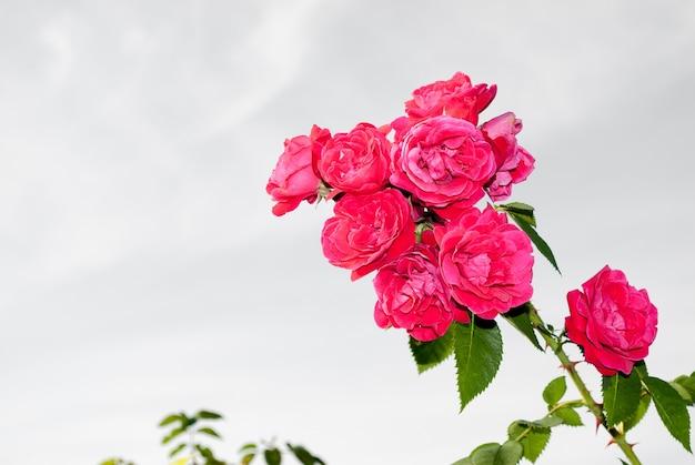 明るい夏の日に対して夏の朝の庭の赤いバラの美しい茂み。コピースペース