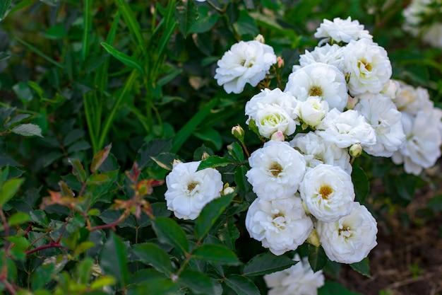 春の庭の白いバラの美しい茂み。