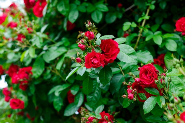 A beautiful bush of red roses on a background of green foliage. spring flowering, bright opening buds. gardening, ornamental plants