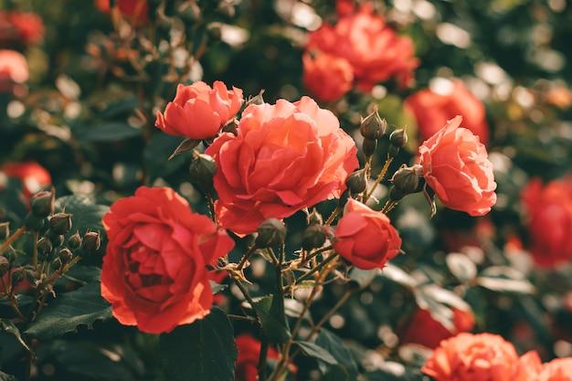 Beautiful bush of tea roses. spring and summer flower. rose garden.