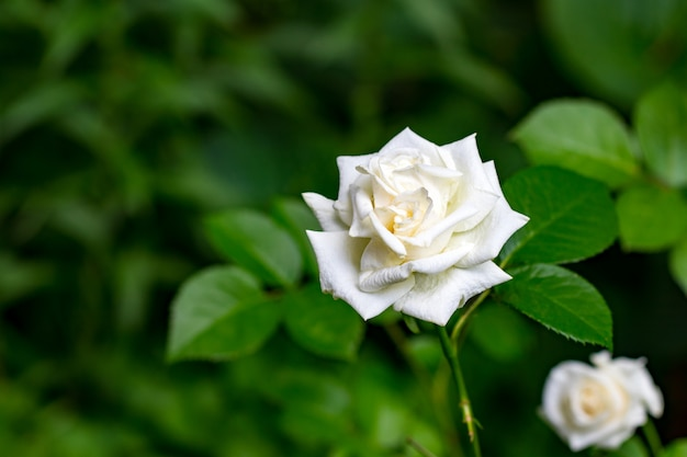 Beautiful bush of white roses in a spring garden