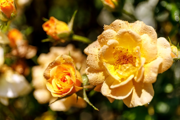 Beautiful bush of yellow roses in a spring garden. yellow rose with drops of dew.