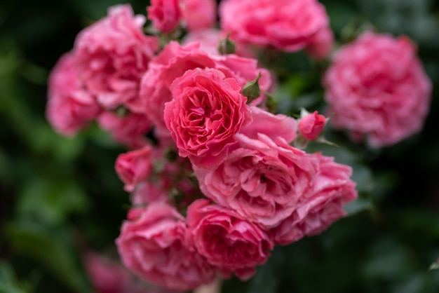 Beautiful bushes of pink roses