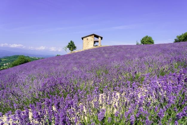 Beautiful bushes of purple lavender flowers in summer.