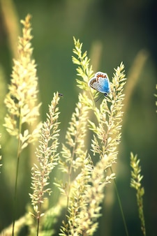 Красивая бабочка (обыкновенный синий, polyommatus icarus)