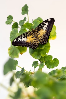 Beautiful butterfly on green flower leafs isolated, close up