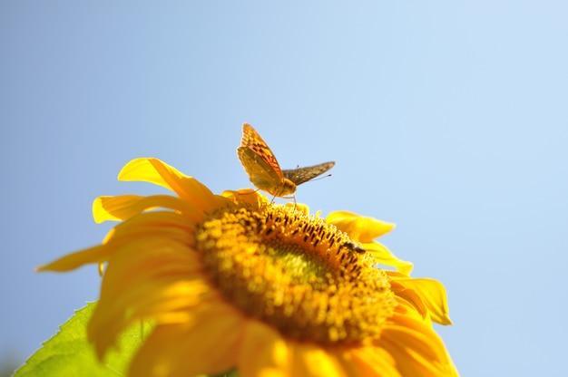 Красивая бабочка в желтом подсолнухе