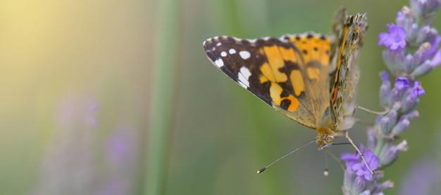 Красивая бабочка на цветке лаванды в саду
