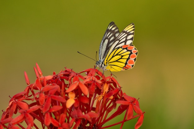 背景をぼかした写真と黄色の花びらを持つ花の美しい蝶
