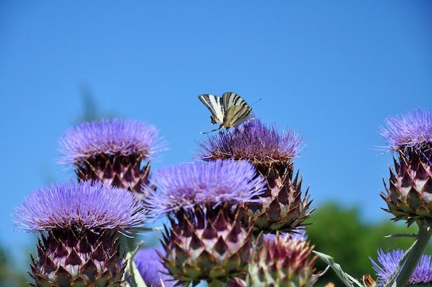 Красивая бабочка махаон (papilio machaon) на фиолетовых цветках чертополоха. лекарственное растение (silybum marianum) на фоне голубого неба летом. выборочный фокус.