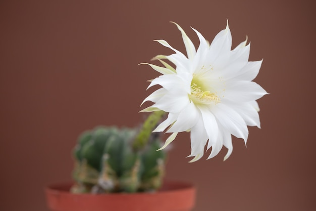 Beautiful cactus flower on brown background