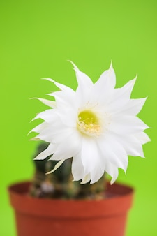 Beautiful cactus flower on green background