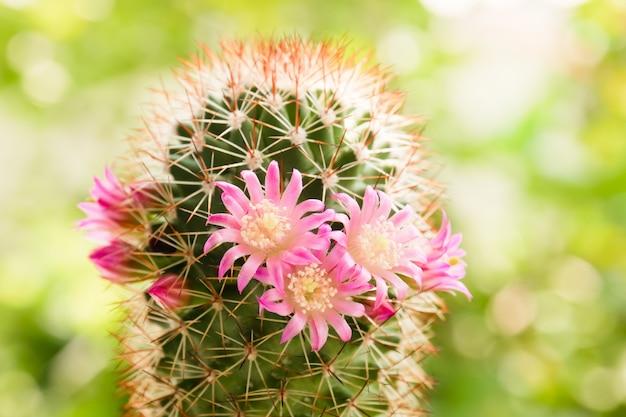 Beautiful cactus flower on sunlight