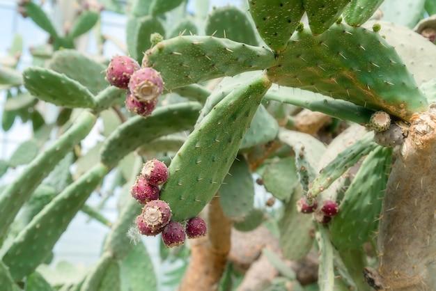 美しいサボテンの果実。植物園の白いサボテンの棘の背景のクローズアップ