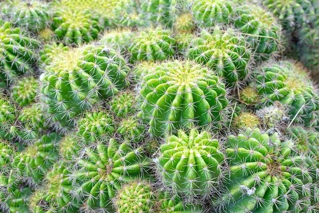 Красивый кактус в саду. широко культивируется как декоративное растение. селективный фокус крупным планом.