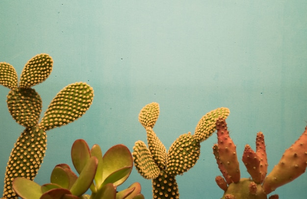 Beautiful cactus plants against blue wall
